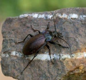 Ein braun-schwarzer Laufkäfer sitzt auf einem graunen Stein.