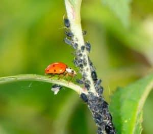Ein Marienkäfer sitzt auf einem Blatt und frisst Blattläuse vom Stiel einer Pflanze.