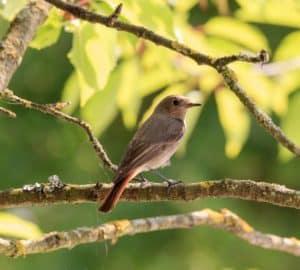 Ein weiblicher Gartenrotschwanz sitzt auf dem Ast eines Baumes.