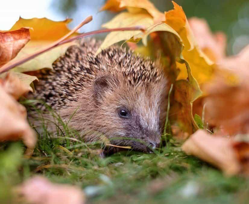 Ein Igel versteckt sich unter gelben Herbstblättern.