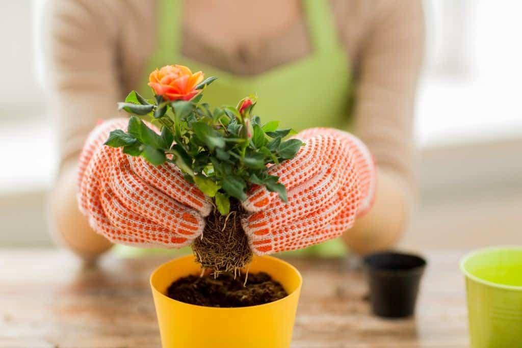 Eine Frau mit Gartenhandschuhen pflanzt ein kleines Rosengewächs ein.