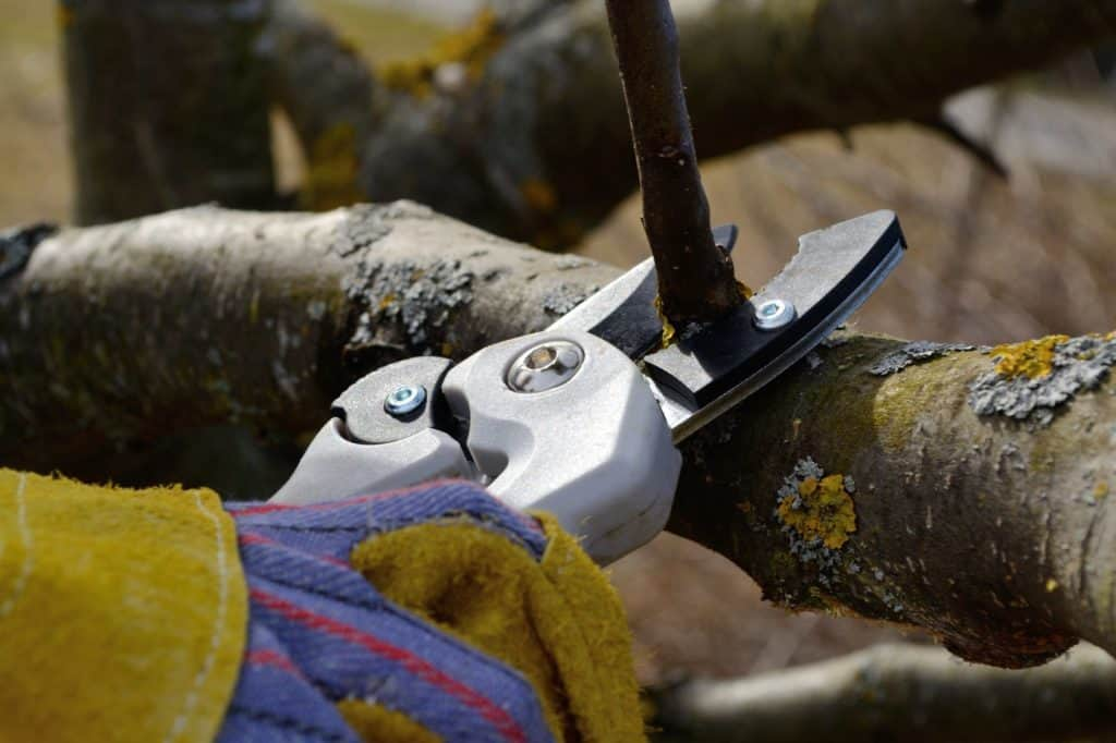 winterschnitt: Mit einer Baumschere wird ein kleiner Ast abgeschnitten.