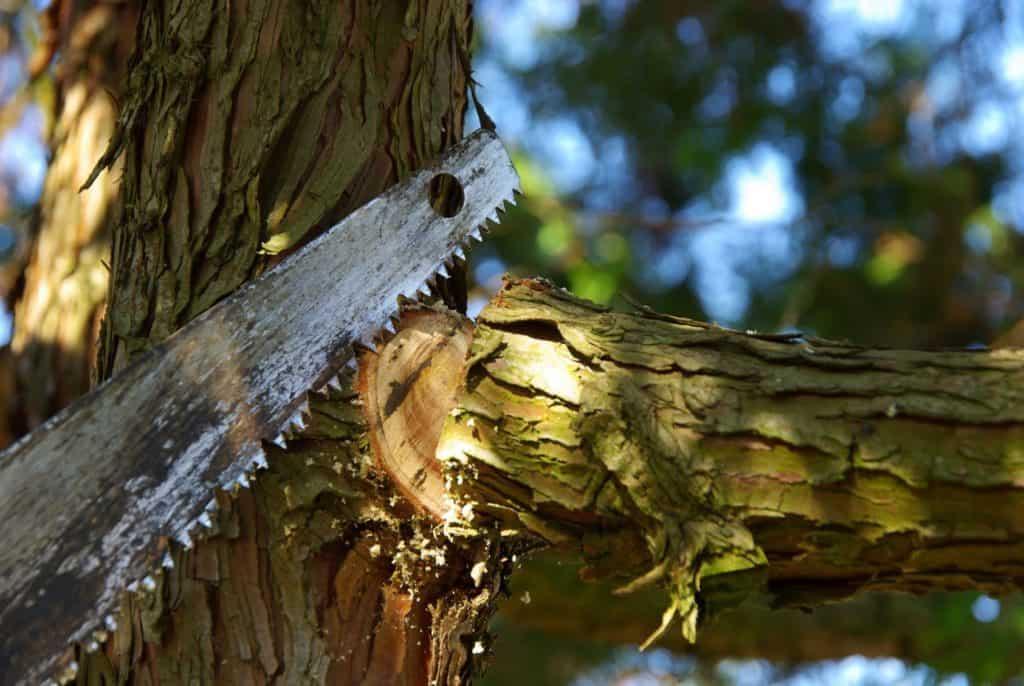 Winterschnitt: Grobes Sägeblatt sägt Ast.