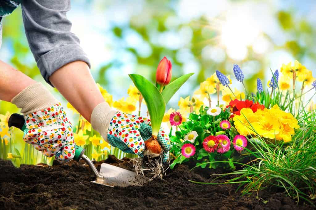 Blumenbeete anlegen: Mit bunten Arbeitshandschuhen wird eine Tulpe und andere farbenfrohe Blumen in den lockeren Boden gepflanzt.