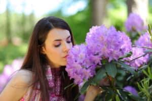 Rhododendronblüten sehen schön aus, Fraßspuren von Dickmaulrüsslern nicht.