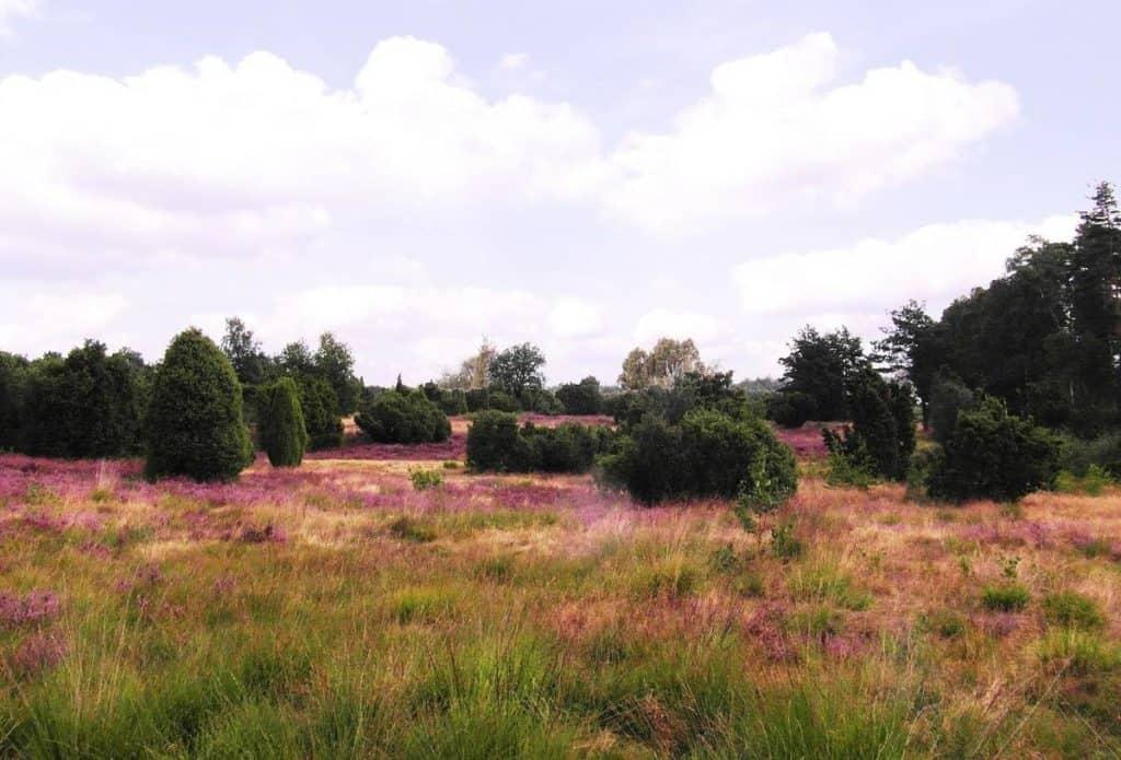 Die Heide - Eine beeindruckende Landschaft mit großen Flächen, grünen Gräsern, Heidekraut und Birken, Eichen und Kiefern.