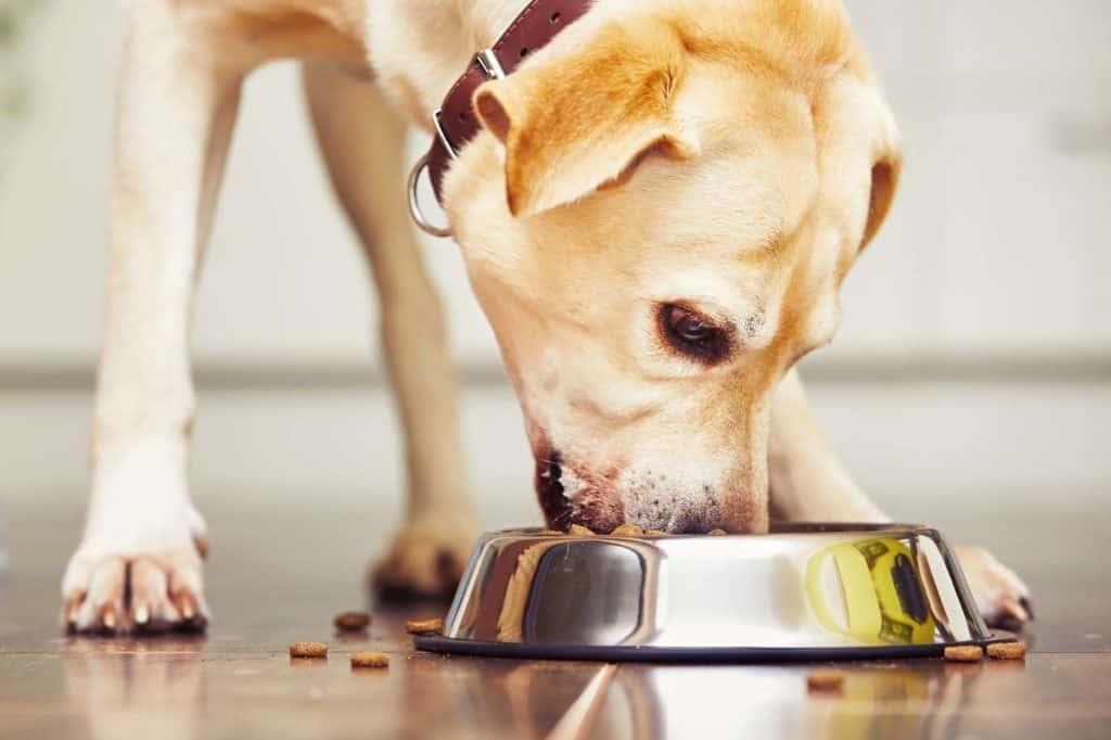 Wohnen mit Hund: Labrador frisst Trockenfutter aus dem Fressnapf auf Laminatboden.