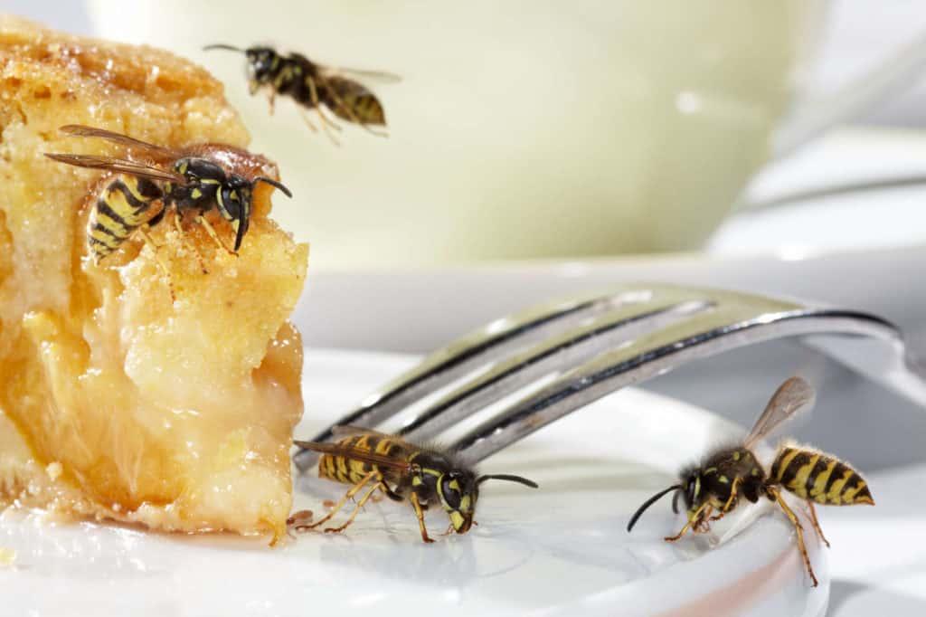 Auf einem Kuchenteller sitzen mehrere Wespen.