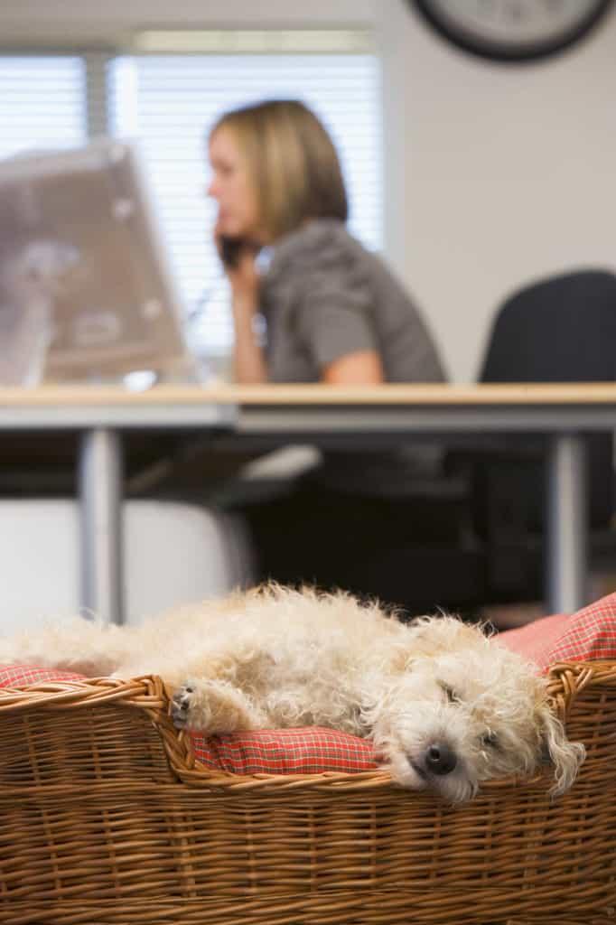 Bürohund. Kleiner, wuscheliger Hund liegt in seinem Korb, während die Frau im Hintergrund am Schreibtisch arbeitet.