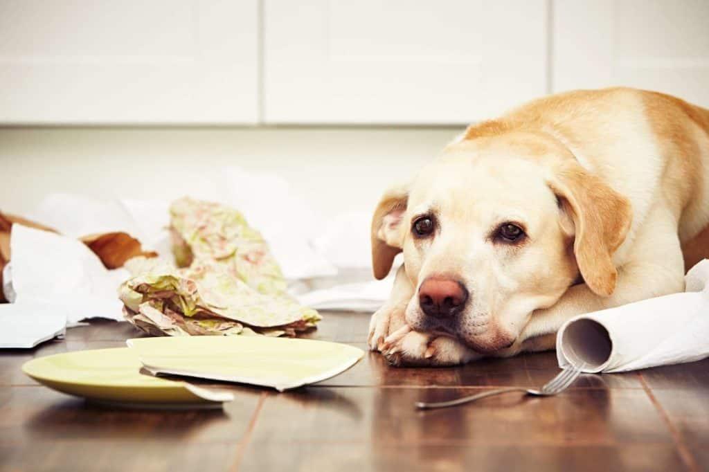 Bürohund: heller Labrador hat auf dem Küchenfußboden Teller und Papier zerstört.