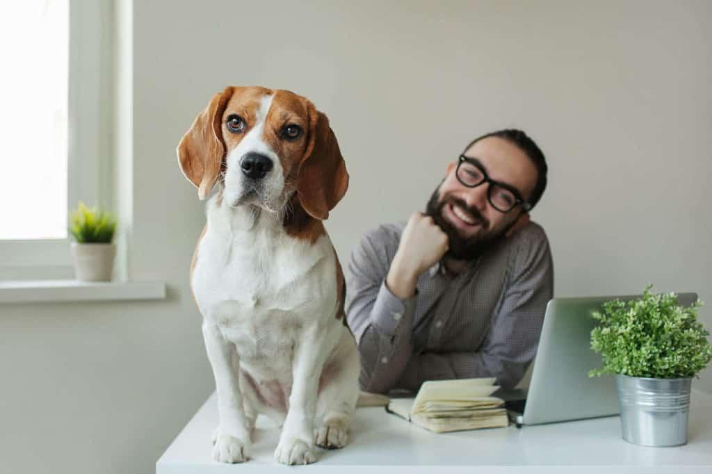 Lachender Mann mit einem Beagle als Bürohund auf dem Schreibtisch.