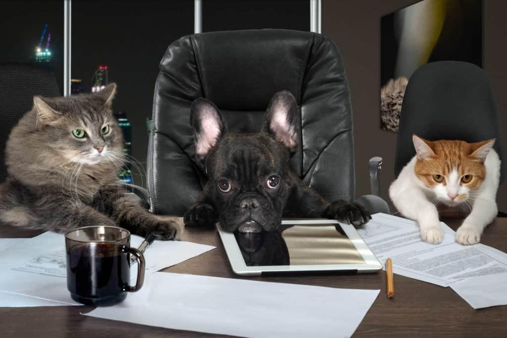 Bürohund im Chefsessel am Schreibtisch, daneben 2 Katzen.