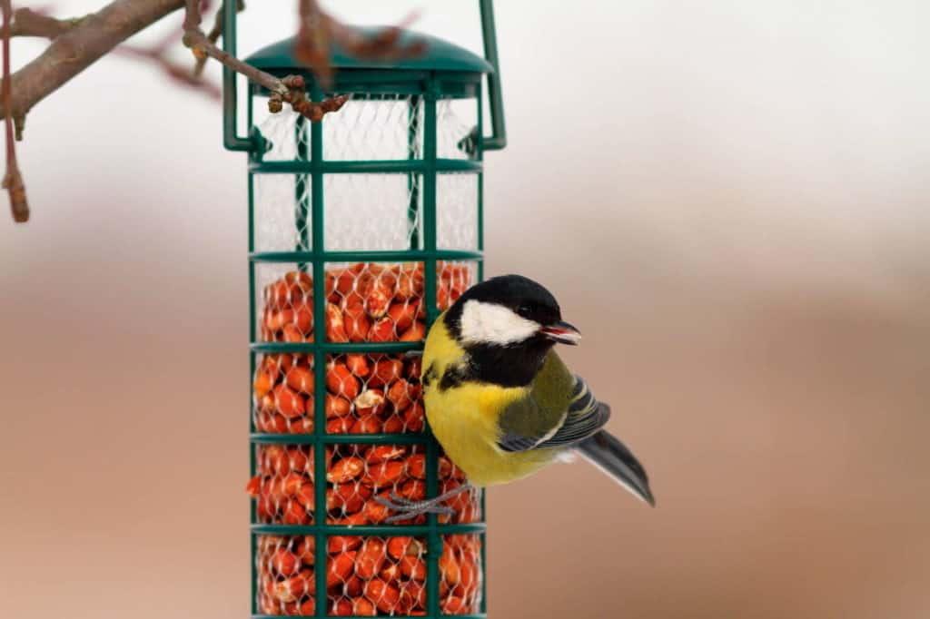 Vögel füttern: Meise hängt an einem mit Körnern befüllten Futtersilo.