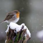 Vögel füttern: Rotkelchen sitzt auf einem Baumstamm mit Schnee.