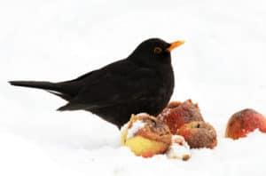Vögel im Garten: Eine Amsel sitzt im Schnee bei altem Obst.