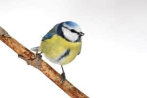 Vögel im Garten: Eine Blaumeise sitzt auf einem Ast vor weißem Hintergrund.