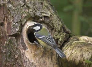 Vogel im Garten: Eine Kohlmeise hat sich ein Baumloch zum Nisten ausgesucht.