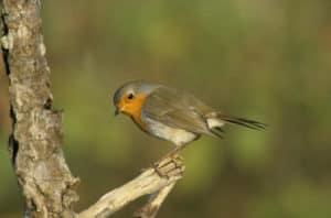 Vögel im Garten: Im Grünen sitzt ein Rotkehlchen auf einem Ast.