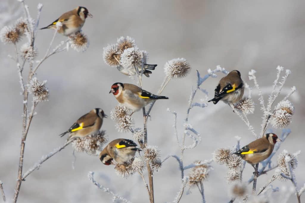 Vögel im Garten: Stieglitze sitzen auf winterlichen Pflanzen, die mit Schnee bedeckt sind.