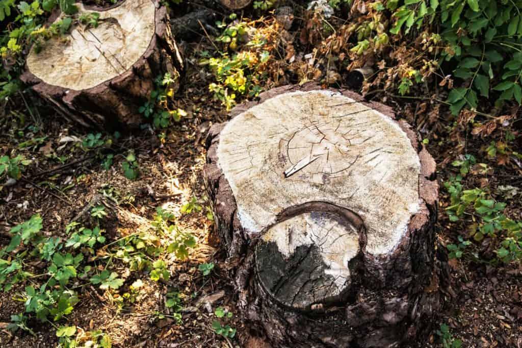 Zwei Baumstümpfe auf Waldboden.