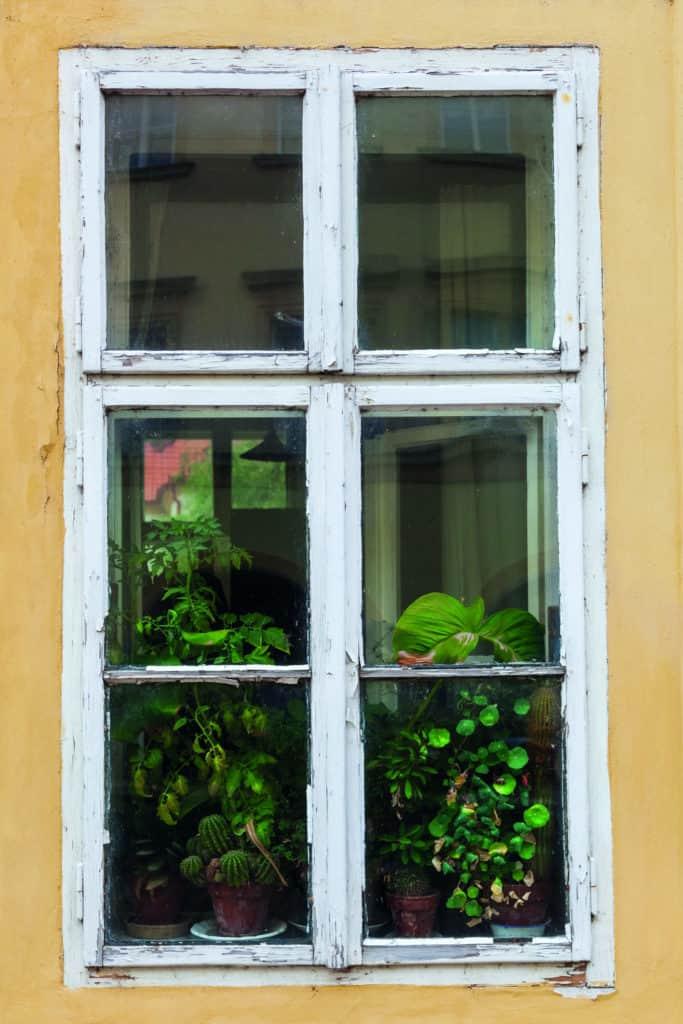 Alte Fenster mit abgeblätterten weißen Rahmen, dahinter grüne Topfpflanzen