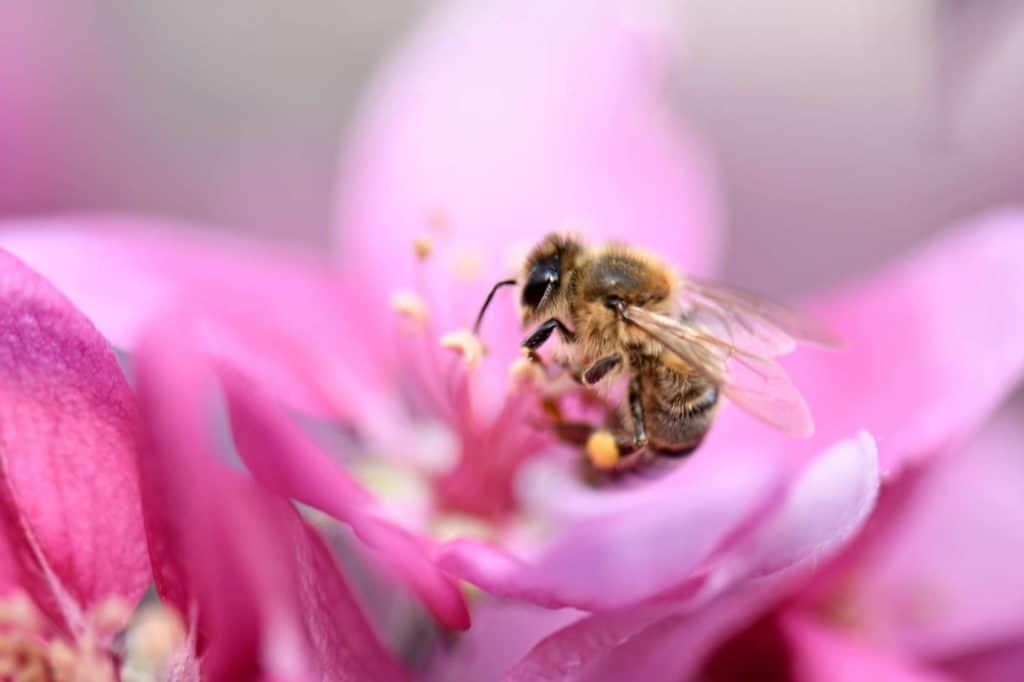 Bienen, wie diese, die gerade in einem rosa Blütenmeer Pollen sammelt, sind fleißige Tiere.
