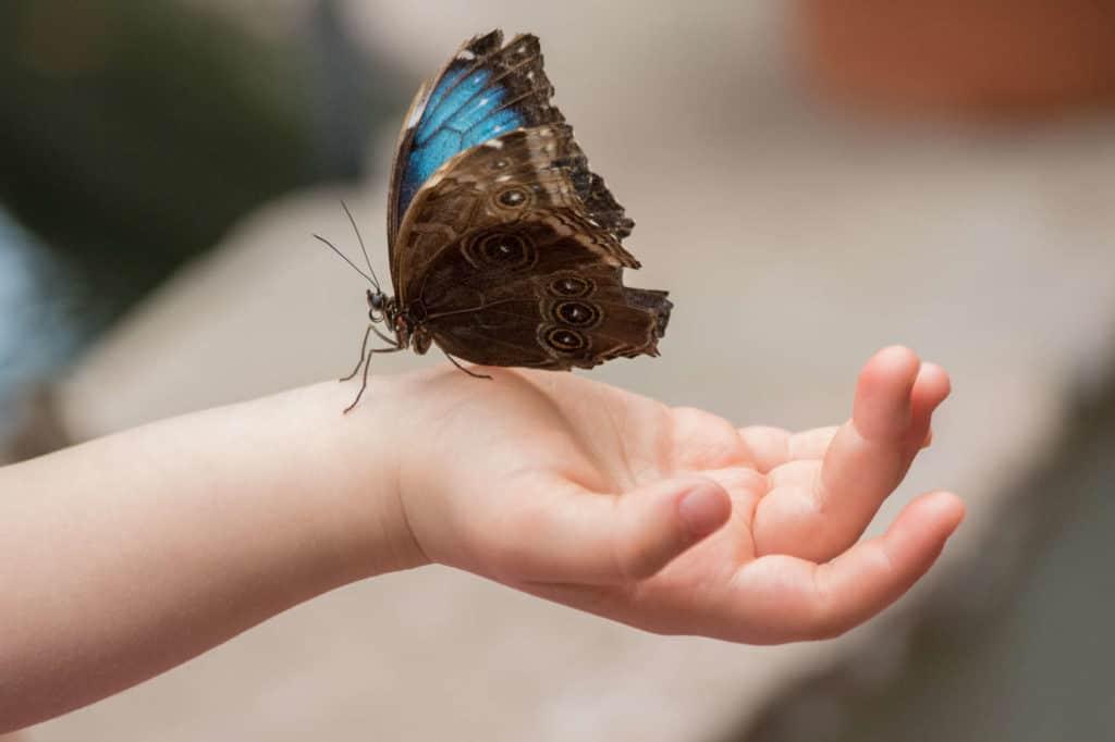 Ein Himmelsfalter sitzt auf der Hand eines Kindes. Seine blauen Flügel haben auf der Unterseite ein detailliertes Muster.