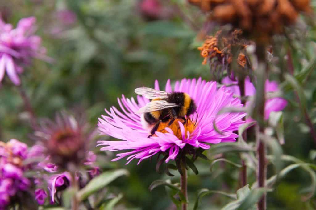 Eine Nahaufnahme einer Hummel, die in einer pinken Geranie sitzt und deren Pollen nascht