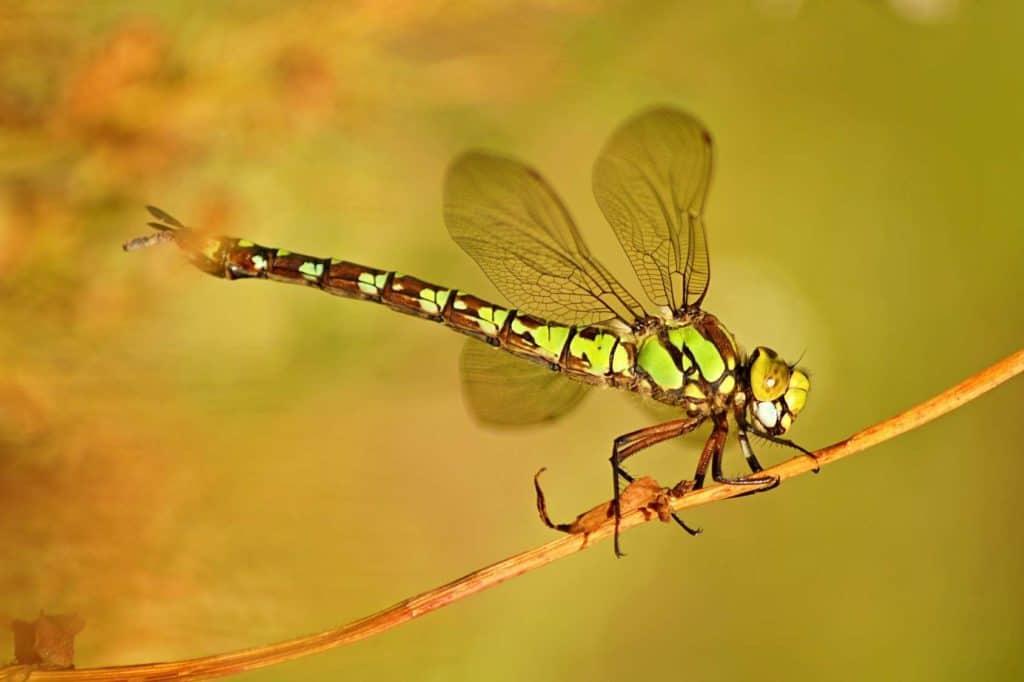 Libellen wie diese Mosaikjungfer halten sich gerne in der Nähe von Gewässern auf.