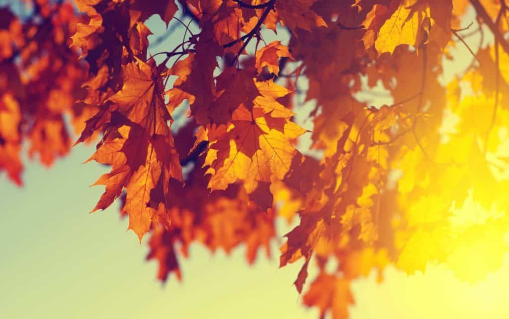 Ahornblätter im Herbstgarten