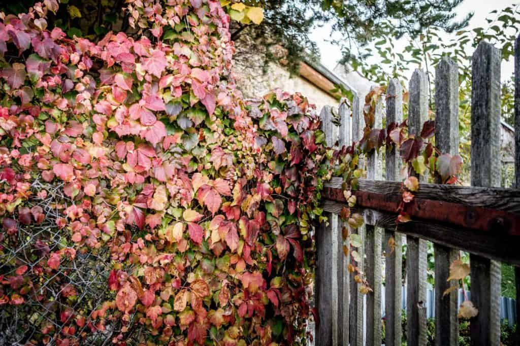 Wilder Wein im Herbstgarten rankt über Maschendraht- und Holzzaun.