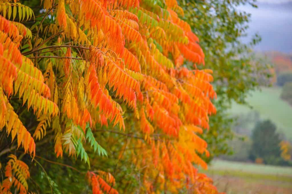 Buntes Laubwerk eines Essigbaumes im Herbstgarten