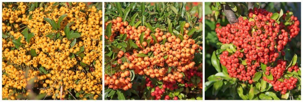 Gelbe, orange und rote Beeren des Feuerdorns im Herbstgarten.