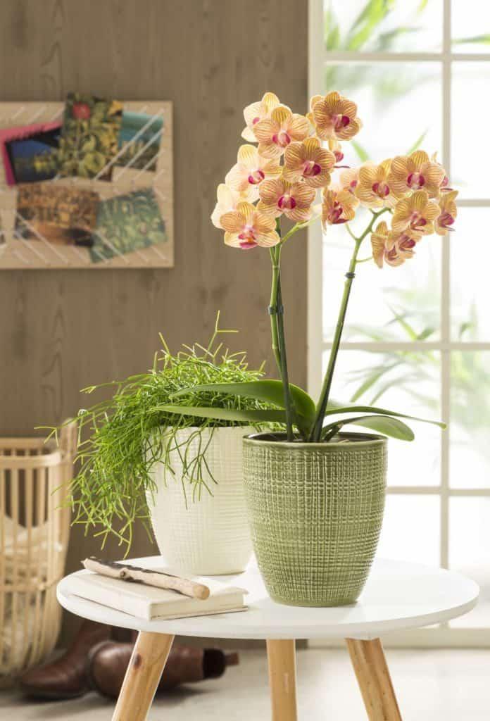 Pflanzen: Phalaenopsis (Schmetterlingsorchidee), Rhipsalis (Korallenkaktus) in edlen Übertöpfen (edle Geschenke)