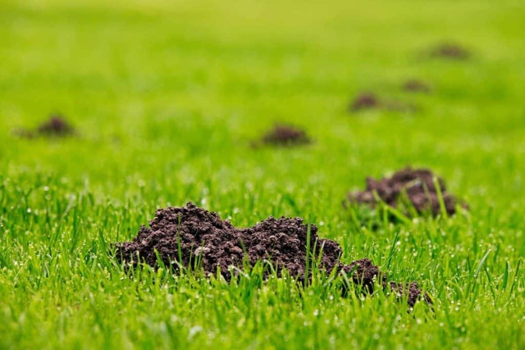 Maulwurfshaufen im Gras (Ein Maulwurf im Garten)