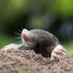 Ein Maulwurf im Garten – vertreiben oder dulden?
