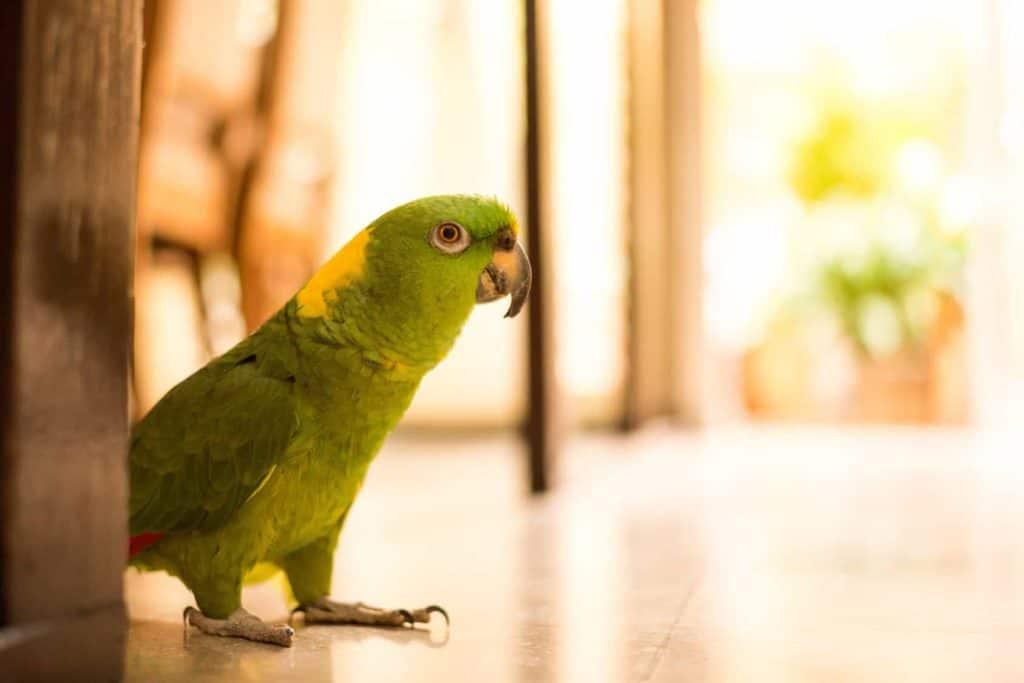 Papagei läuft auf dem Boden (laute Nachbarn)