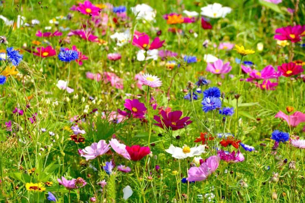 Bunte Wildblumenwiese im Garten
