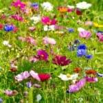 Pflegeleicht und wunderschön: So legen Sie Wildblumenwiesen im Garten an
