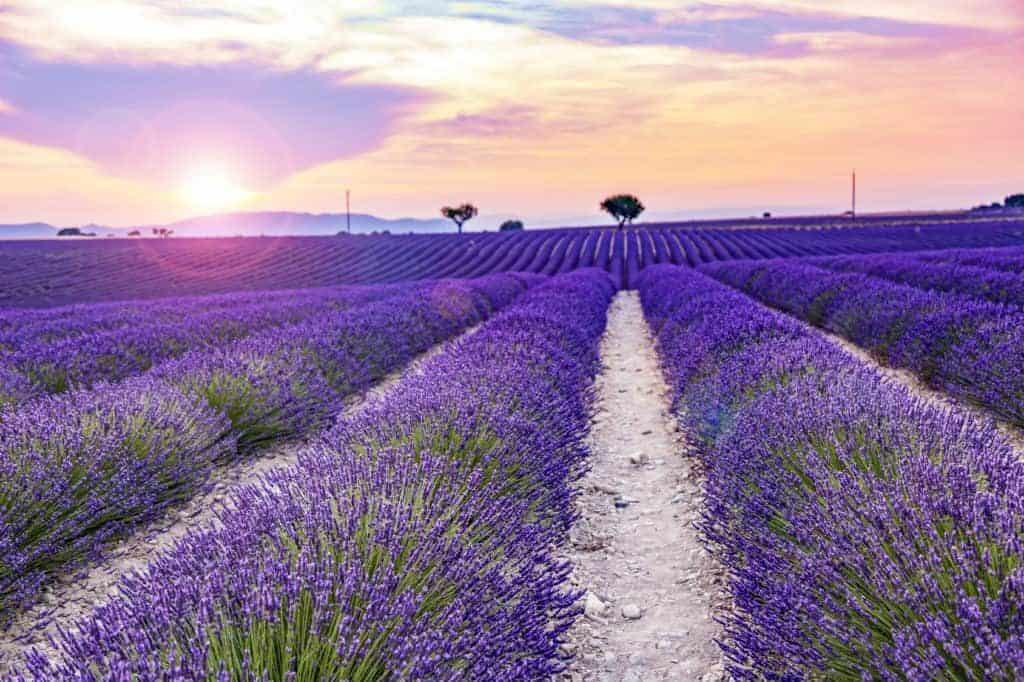 Lavendelblüten in der Provence in riesigen Feldern