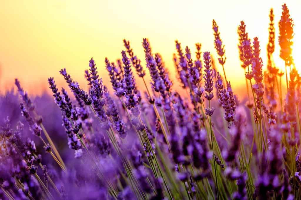 Lavendelblüten im Sonnenuntergang
