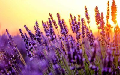 Alles über Lavendelblüten und was Sie damit machen können