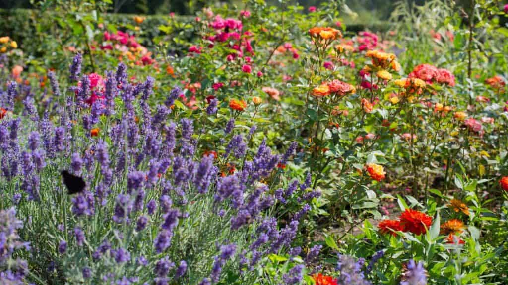 Lavendelblüten neben Rosen im Garten