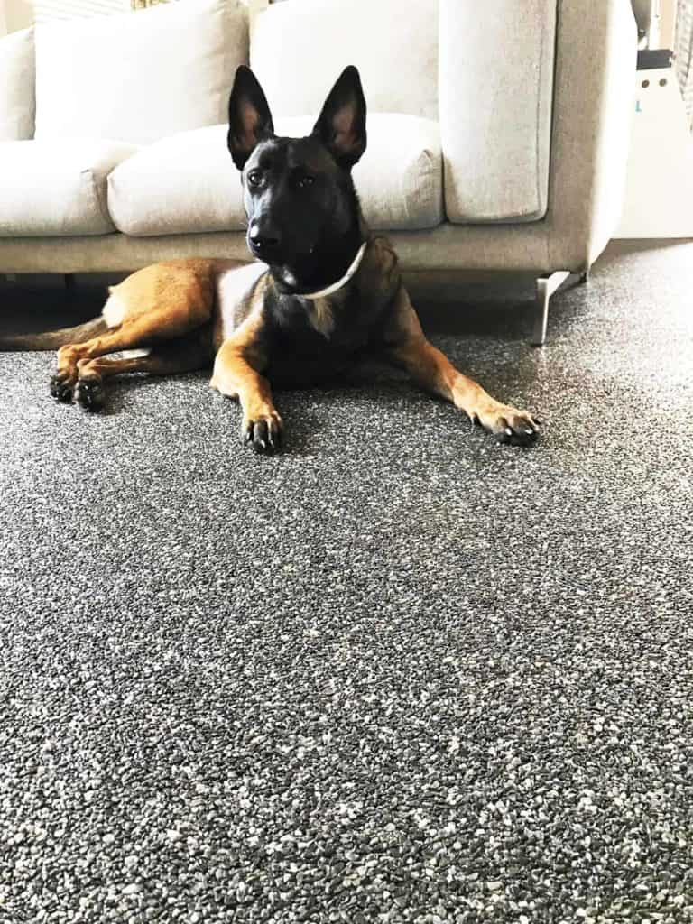 Junger Hund liegt auf einem Steinteppich-Boden vor dem Sofa (wohnen mit Hund)