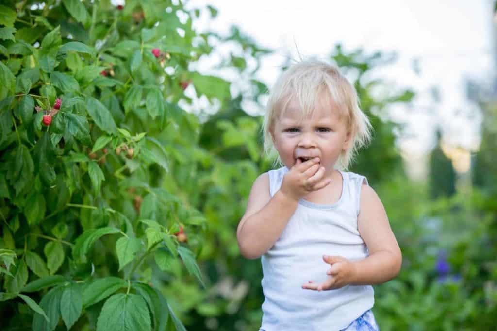 Kleines Kind nascht Himbeeren im Garten (kindgerechter Garten)