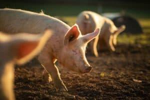 Nachhaltig einkaufen: freilaufende Schweine aus ökologischer Haltungsform.