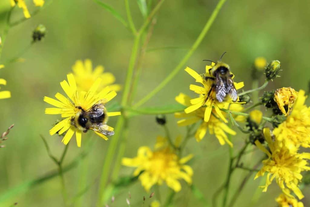 Hummeln an gelben Blüten (schnelle Unkrautbekämpfung ohne Glyphosat)